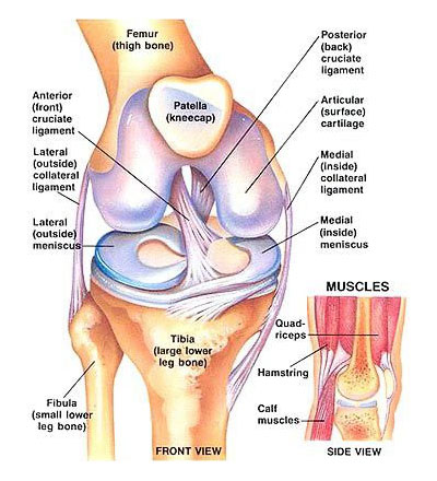Anterior Cruciate Ligament (ACL) diagram